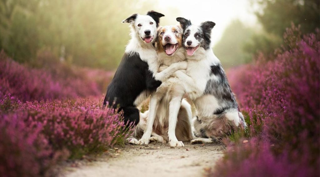 Three border collies hugging