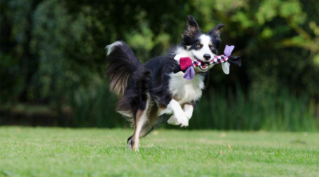 Canine Athlete