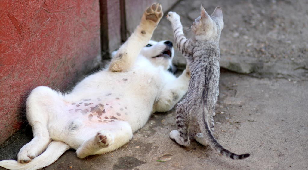 Cat standing on hind legs playing with puppy lying on its back
