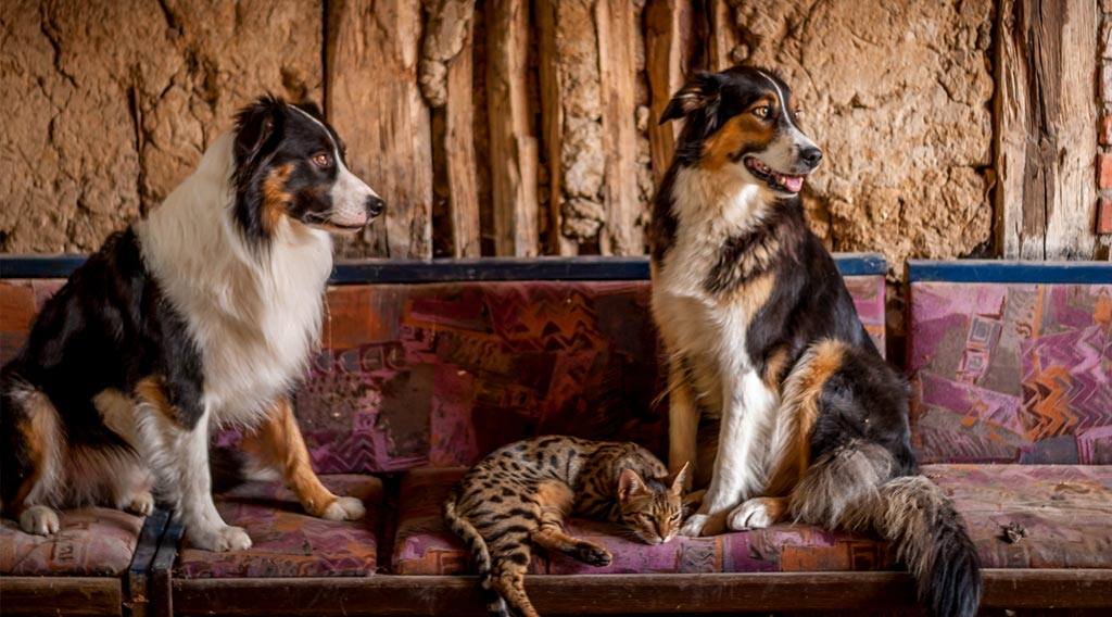 Two dogs seated with a reclining cat between them