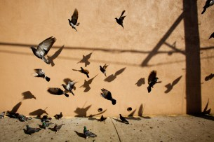 Pigeons and their shadows