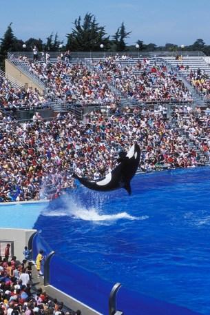 Killer Whales (Shamu) at Sea World
