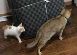 鬼ごっこ中に大人の猫の背後をついて驚かせた子猫