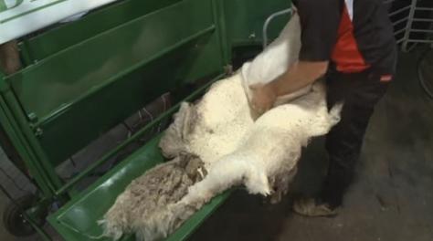 羊の毛皮を酵素でツルッと剥がす
