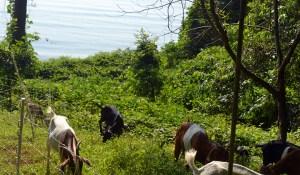goats for grazing MD, VA, Washington DC, goats eat poison ivy