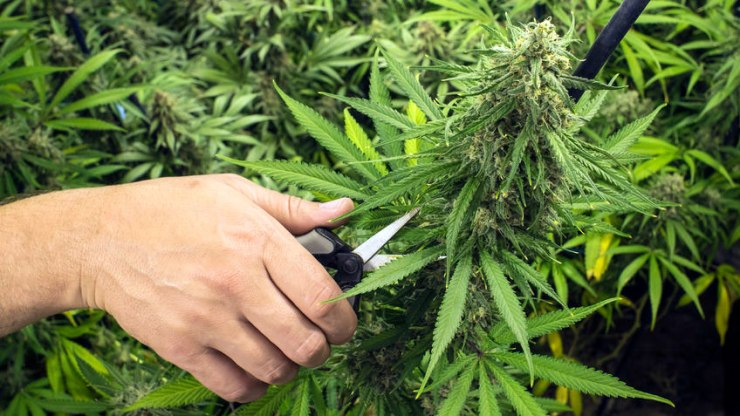Manual de cultivo de marihuana para principiantes