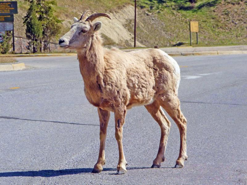 Mountain sheep at Radium Hot Springs