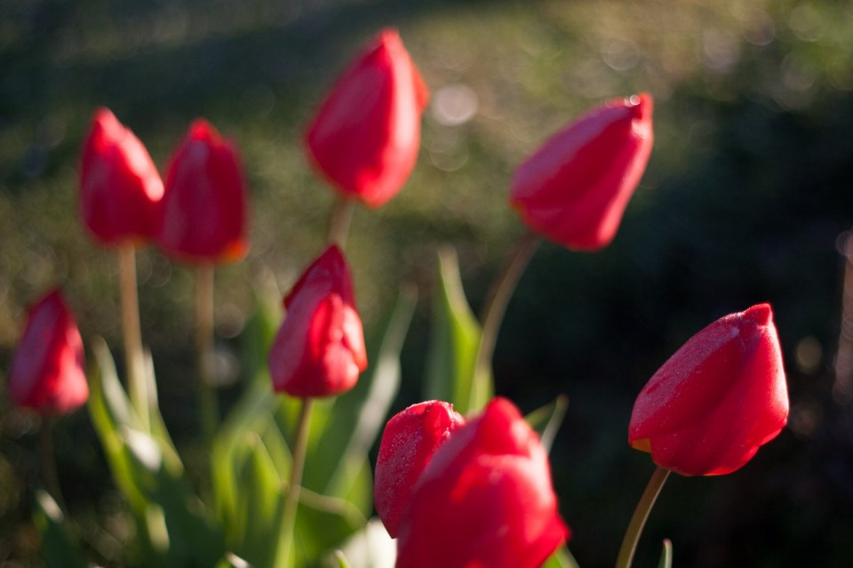 tulips on a frosty morning