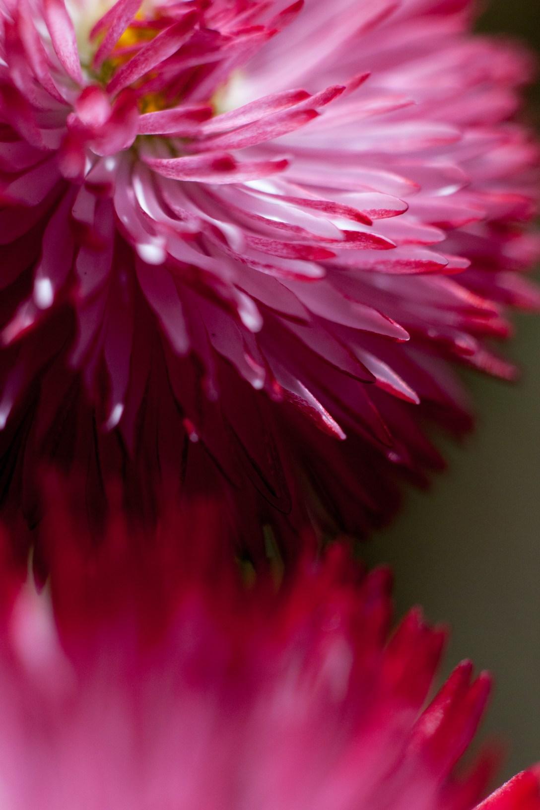 daisy like flower that look like cheerleaders pompoms
