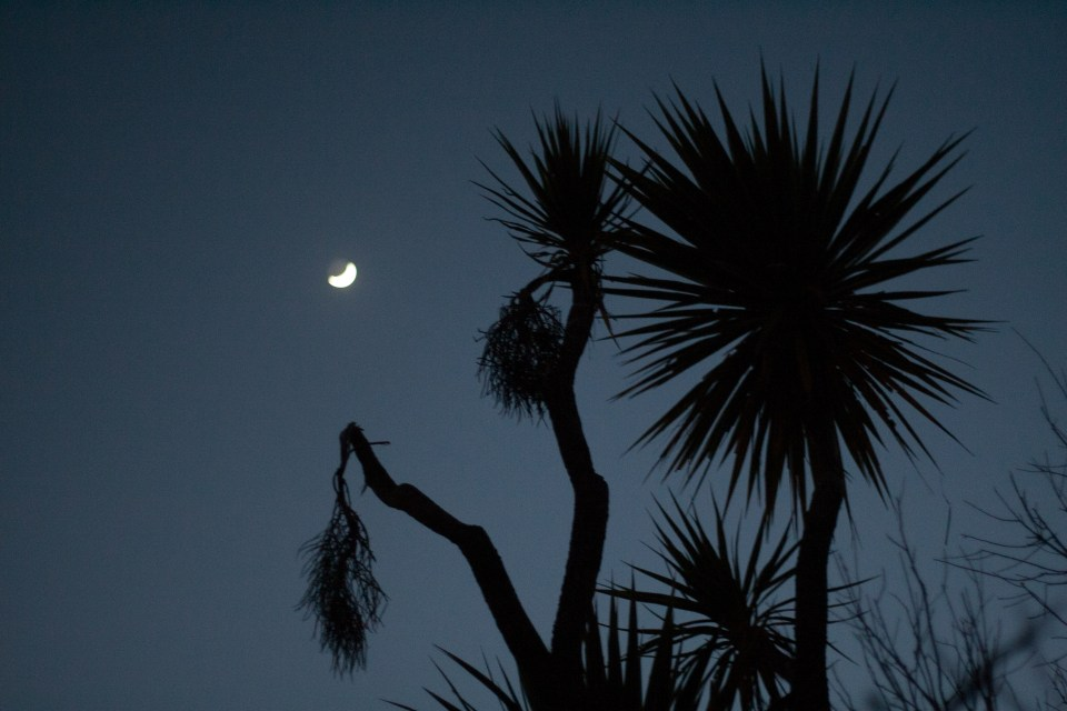 cabbage trees with moon