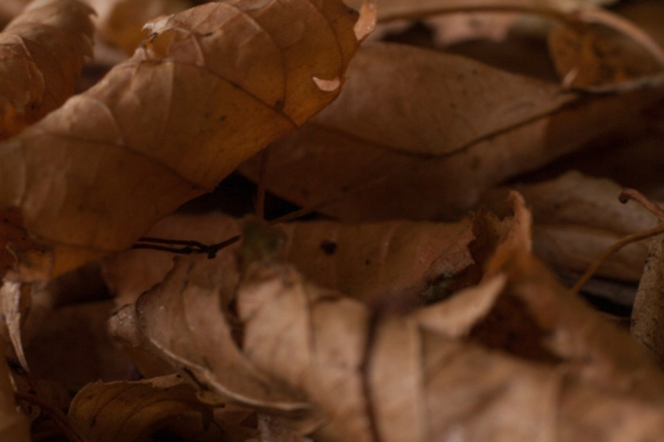 brown leaves of autumn