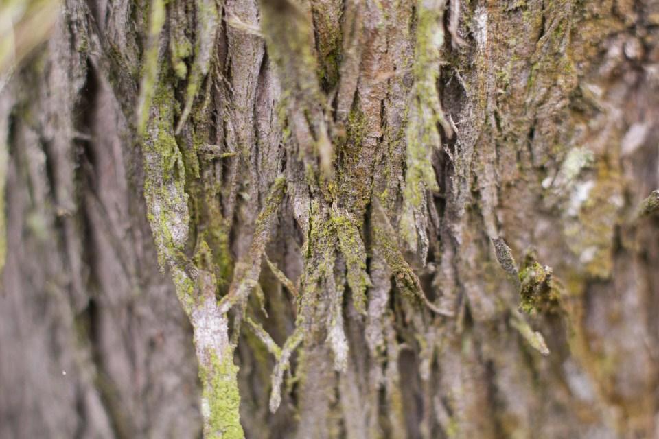 tree bark peeling off