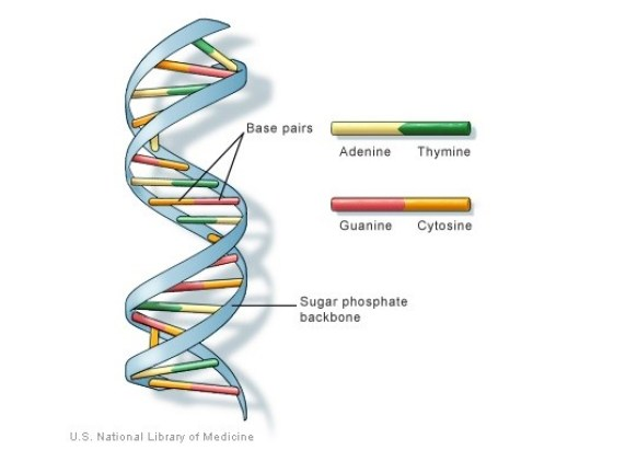DNA structure and coding