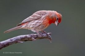 Inquring Male House Finch