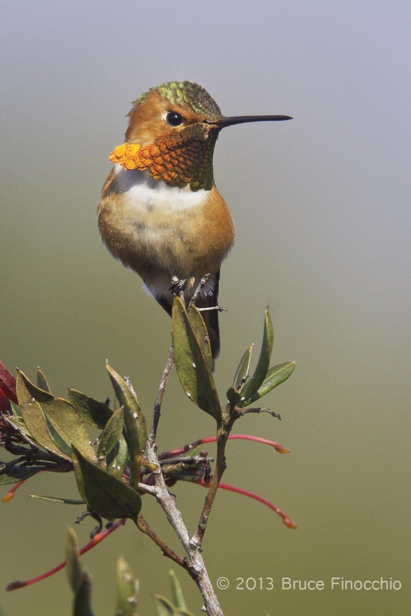 Majestic Male Allen's Hummingbird