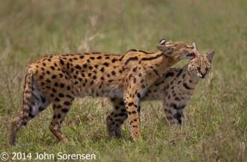 Serval Cat Affection