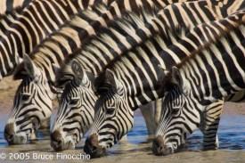 Four Zebras Drink At The Jones Dam