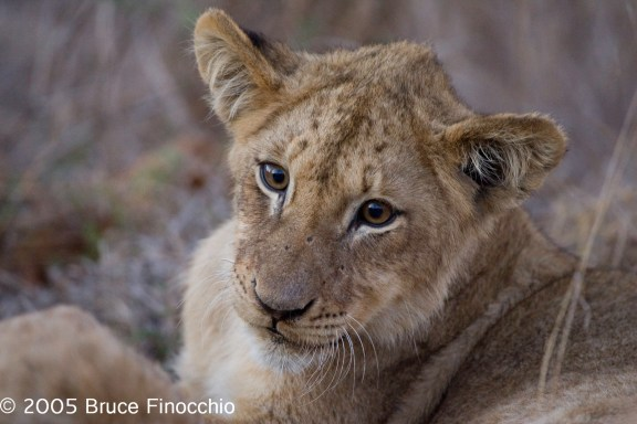 Inquisitive Lion Cub
