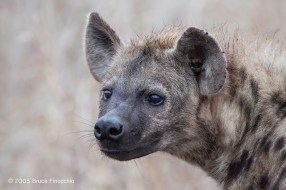 The Face Of A Spotted Hyena