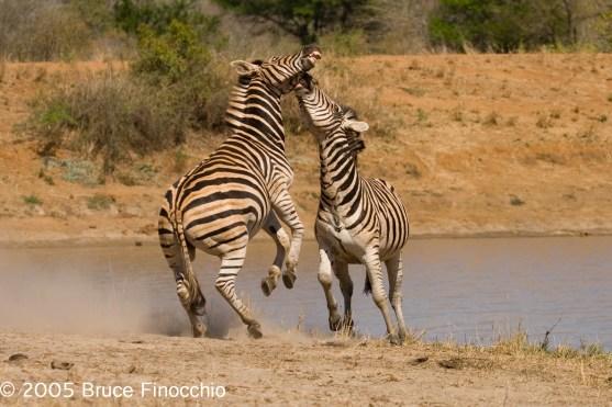 Two Male Zebras Fighting