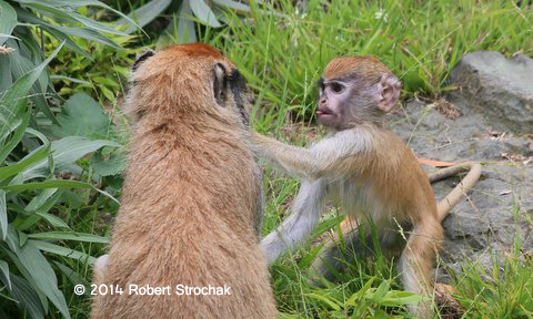 Patus Monkey Youngster and Mother Play Fight