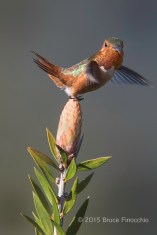 Male Allen's Hummingbird Uses Wings and Tail To Balance On A Banksia