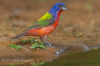 An Alert Male Painted Bunting Approaches Water