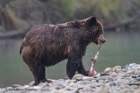 Grizzly Bear Strips Salmon Of Skin Along Stream