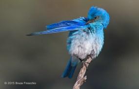 © 2010 Bruce Finocchio --Male Mountain Bluebird