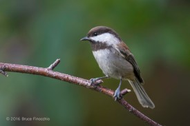 A Moment In The Life Of A Chestnut-backed Chickadee