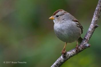 Portrait of A Perched Juvenile White-crowned Sparrow