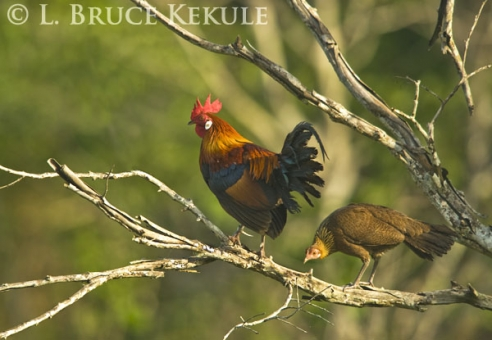 Red Jungle Fowl Wild ancestor of the domestic chicken