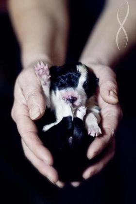 border collie in hand