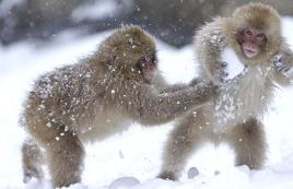 arctic japanese snow-monkey