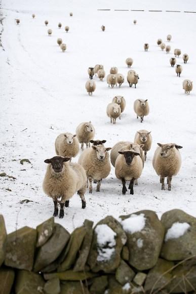 sheep follow crowd life business