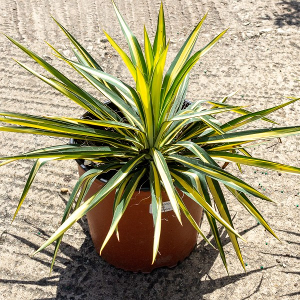 Colorguard Yucca