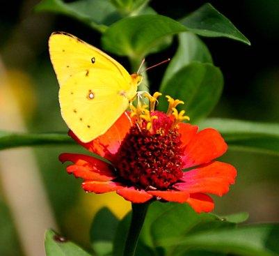 Orange Sulphur (Colias eurytheme)