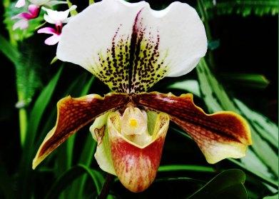 Paphiopedilum hybrid
