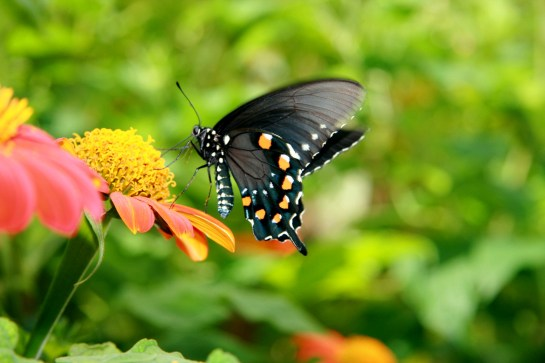Pipevine Swallowtail (Battus philenor)