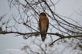 red-shouldered hawk, Egans Creek Greenway