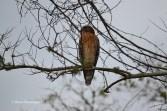 red-shouldered hawk, Egans Creek Greenway