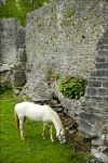 Horses At Aughnanure Castle