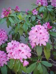 Purple_Rhododendron
