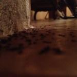 Dead Costa Rican Ants