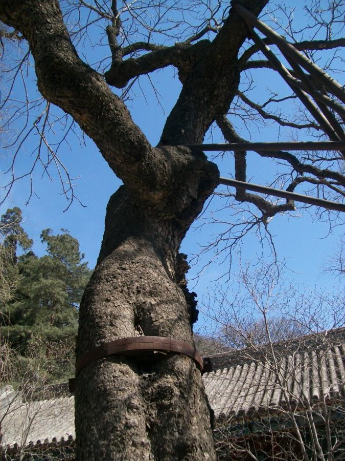 Places to Visit in Beijing: Tanzhe Temple Emperor Tree and Other Stuff