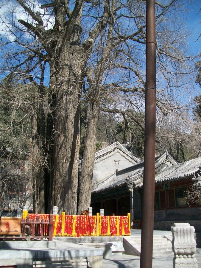 Places to Visit in Beijing: Tanzhe Temple Cypress Tree
