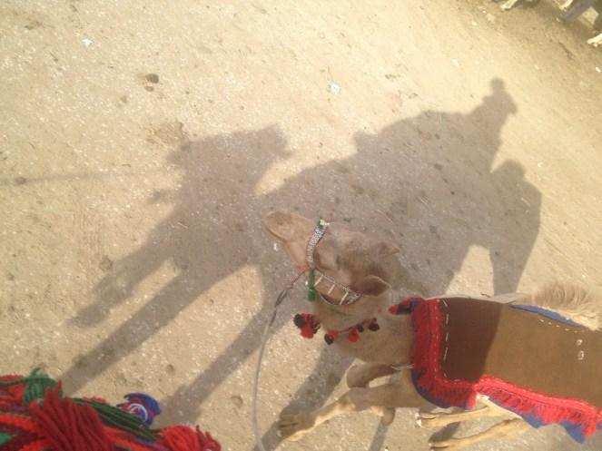 Camels Nazlet Al Sammam Cairo Egypt