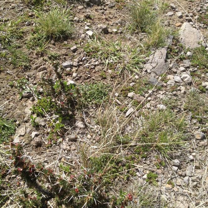 Puno Peru Sillustani Plant
