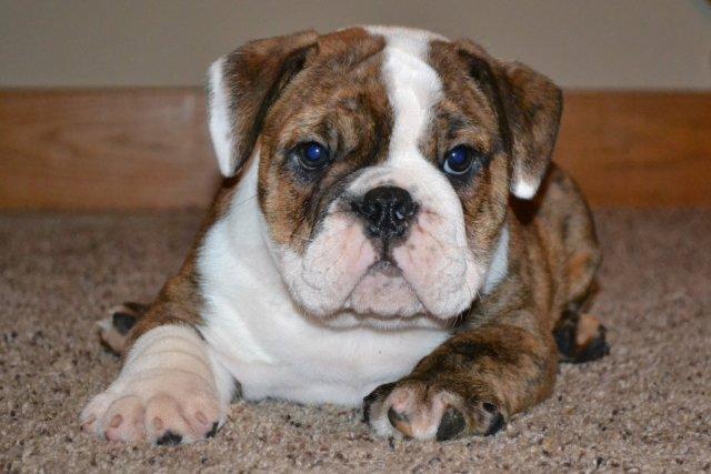 english bulldog and pitbull mix puppies for sale