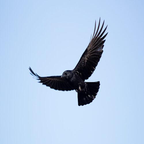 Fuglen Er Flöjet